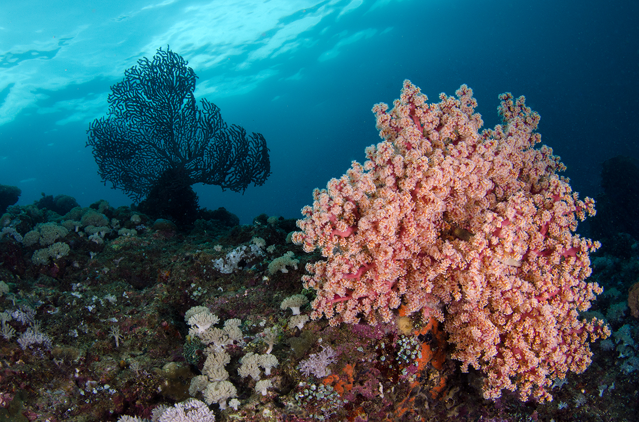 Cherry Blossom Coral, Siphonogorgia godeffroyi, Nidaliidae, Anilao, Philippines, Asia