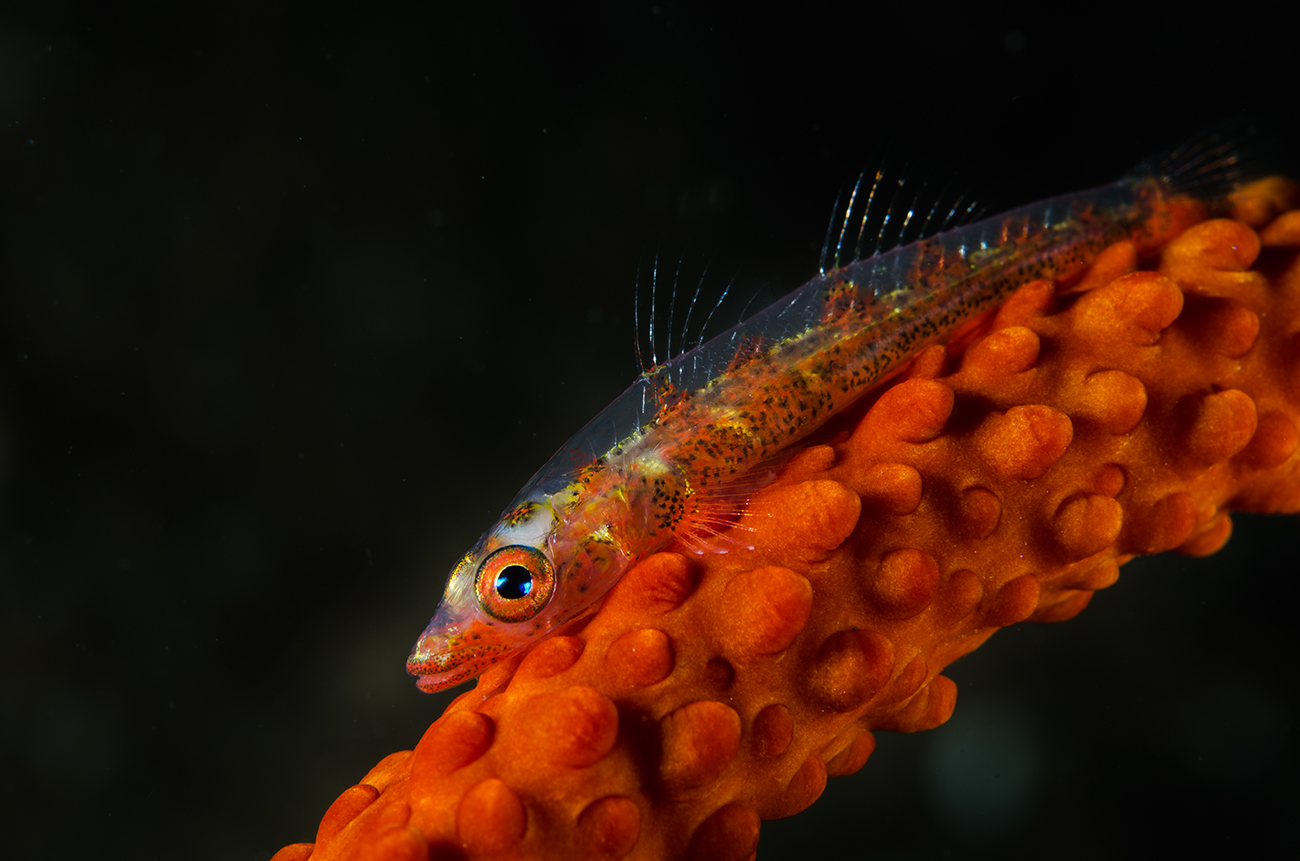 Whip coral goby, Bryaninops yongei, Gobidae, Anilao, Philippines, Asia
