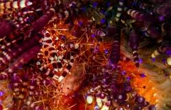 Coleman Shrimp,  Periclimenes colemani, Aniilao, Philippines, Asia