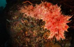 Candycane Sea Cucumber, Thelenota rubralineata, Stichopodidae, Anilao, Philippines, Asia