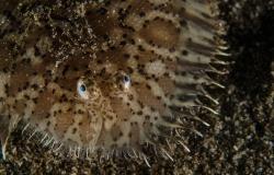 Blackspotted Sole, Mottled sole, Aseraggodes melanostictus, Soleidae, Anilao, Philippines, Asia