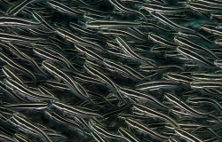Coral Catfish, Plotosus lineatus, Anilao, Plotosidae,  Filippine, Asia