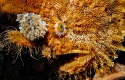 Antennarius hispidus, Antennariidae, pesci rana, frogfish, pesci tropicali marini, Segret Bay, Gilimanuk, bali, Indonesia, Asia