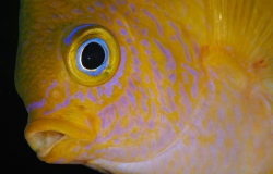 Amblyglyphidodon aureus, damigella dorata, Pomacentridae, pesci tropicali marini, Tulamben, Bali, Indonesia, Indo-pacifico
