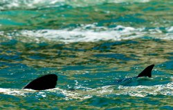 Basket shark, Cethorinus maximus. Slieve League cliffs.