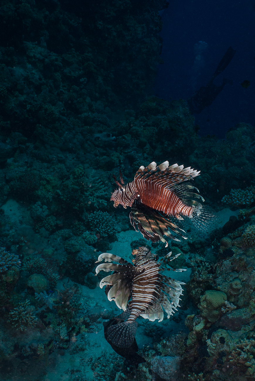 Lionfish, Pterois miles, Red Sea,  Sharm el-Sheikh, Egypt