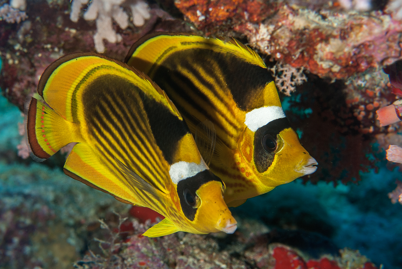 Striped butterflyfish, Chaetodon fasciatus, Sharm el-Sheikh, Red Sea, Egypt