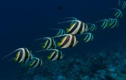 Schooling bannerfish, Heniochhus diphreutes, Sharm el Sheikh, Red Sea, Egypt