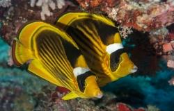 Striped butterflyfish, Chaetodon fasciatus, Sharm el-Sheikh, Red Sea, Egypt