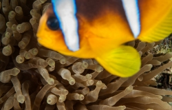 Clownfish, Amphiprion bicinctus,, Sharm el- Sheikh, Red Sea, Egypt