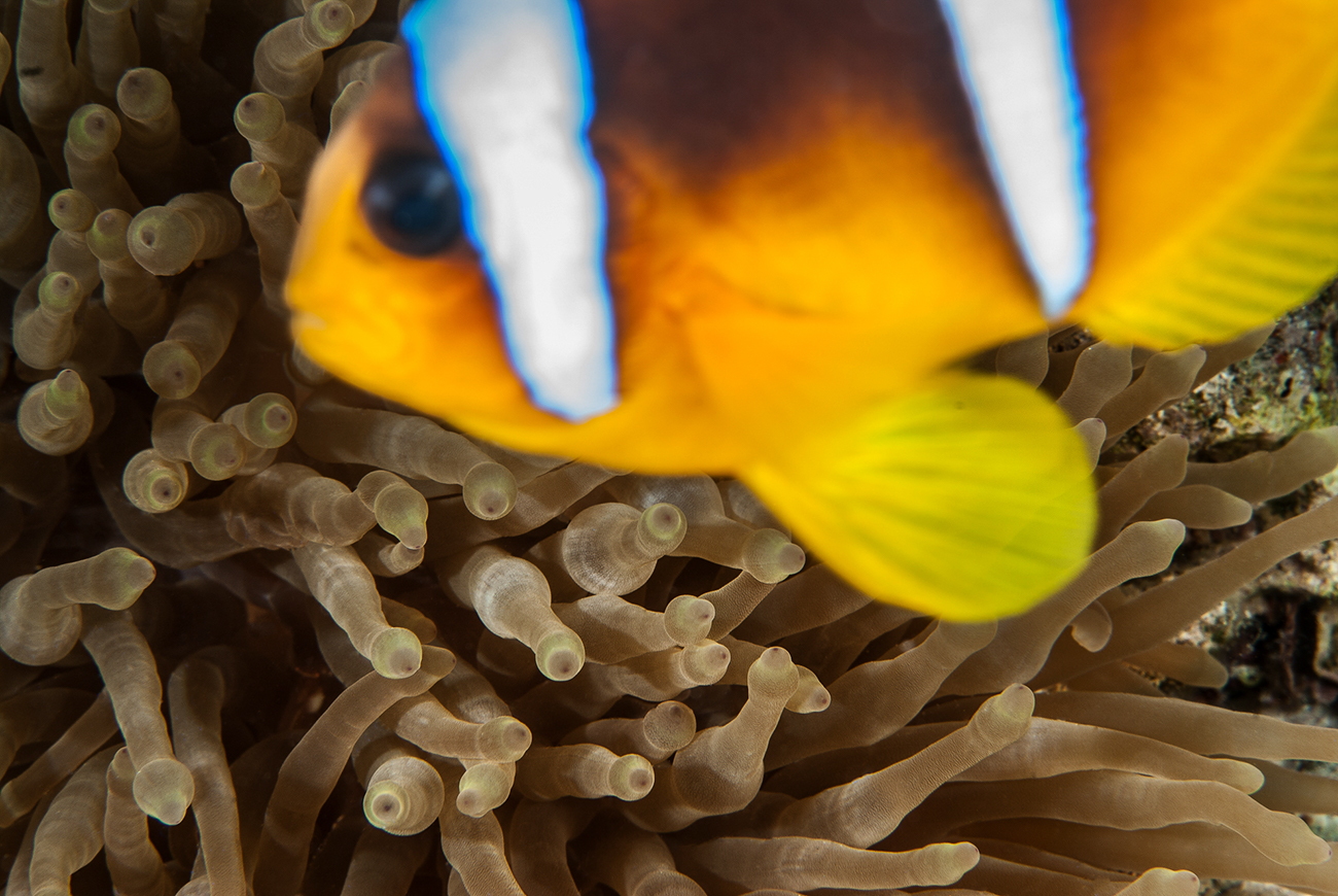 Clownfish, Amphiprion bicinctus,, Sharm el- Sheikh, Red Sea, Egypt