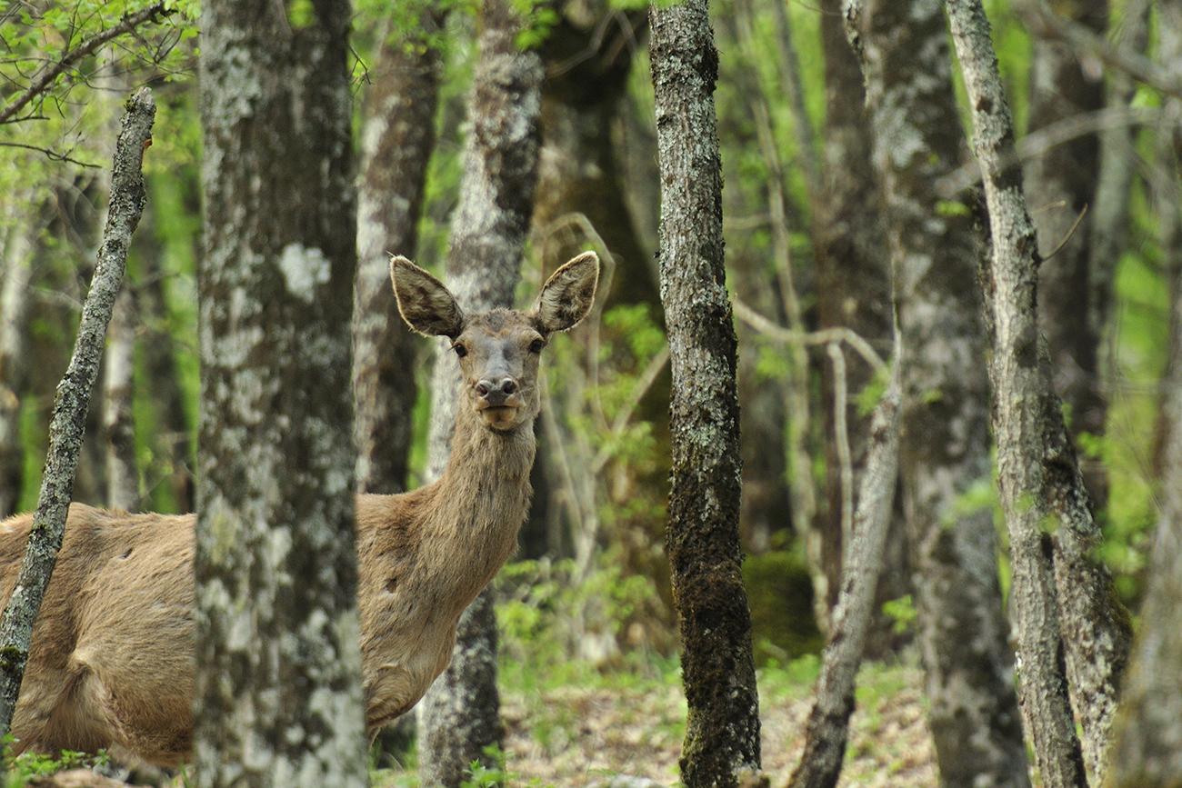 Cervus elaphus, cervo nobile, Cervidae, mammiferi, Parco nazionale d'Abruzzo, Italia